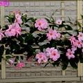 マンデビラの垣根