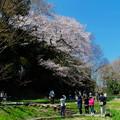 江戸彼岸桜満開(北本市)
