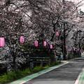 東川の桜1