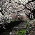 東川の桜3