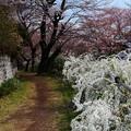 東川桜の散策道