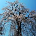 長青寺の枝垂れ桜3