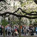六義園 枝垂れ桜5