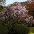 六義園 枝垂れ桜7