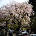 六義園 枝垂れ桜8