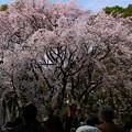 六義園 枝垂れ桜9