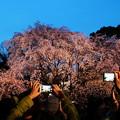 六義園 枝垂れ桜ライトアップ1