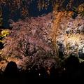 六義園 枝垂れ桜ライトアップ2