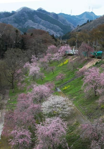 黒海土橋からの桜風景2