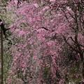 枝垂れ桜の洪水