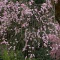 静かな枝垂れ桜