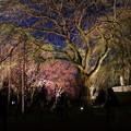 夕方の枝垂れ桜のライトアップ
