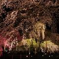 壮観な枝垂れ桜の美