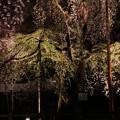 清雲寺枝垂れ桜のライトアップ2