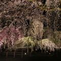 樹齢600余年の枝垂桜の雅