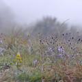 写真: 霧の山02 松虫草