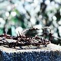 Photos: 荊の冠