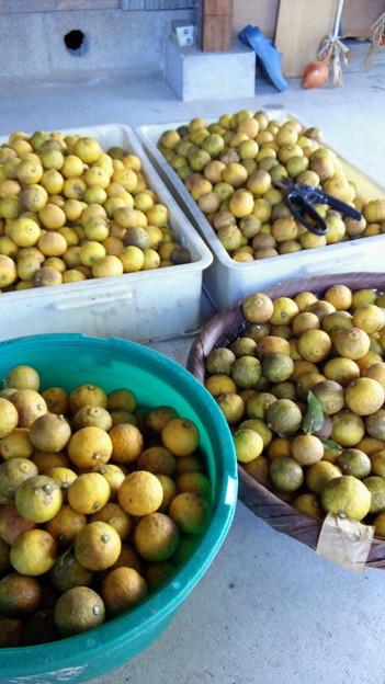 写真: 姫柚子を収穫。500個かそれ以上ありそうだけど農薬を散布してないから...