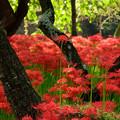Photos: 木の上の曼珠沙華