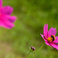 Photos: ハチとコスモス