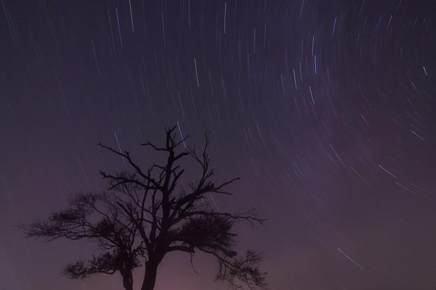星とヤマナシの木