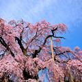 三春町の滝桜(昼)
