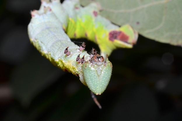 モンホソバスズメの幼虫