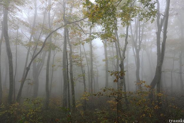霧のブナ林2