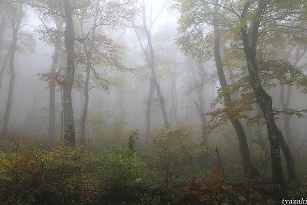 霧のブナ林3