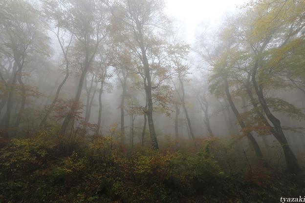 霧のブナ林4