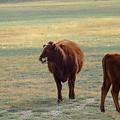 Photos: 横向く牛