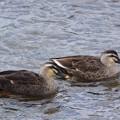 写真: 鴨川の鴨