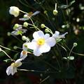 庭に花咲く白い花
