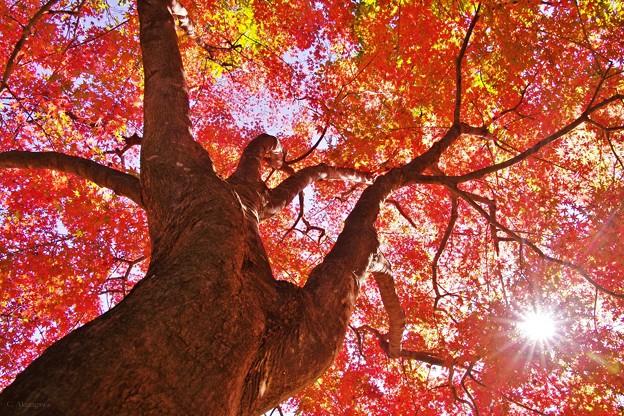 舞岡公園の秋 *紅葉と光条のファンタジー*