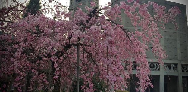 世界平和記念聖堂 八重紅枝垂 広島市中区幟町
