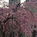 Photos: 世界平和記念聖堂 八重紅枝垂 広島市中区幟町