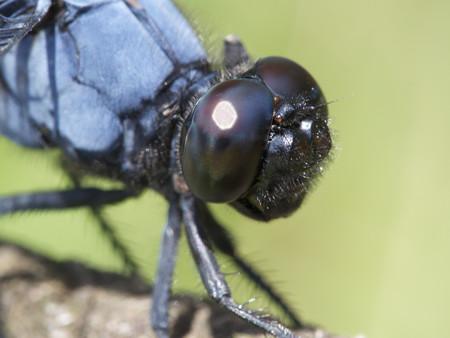 オオシオカラトンボの目