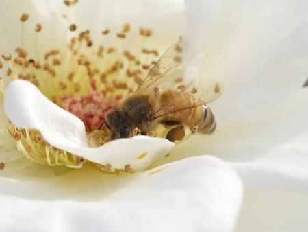 白薔薇と蜜蜂2