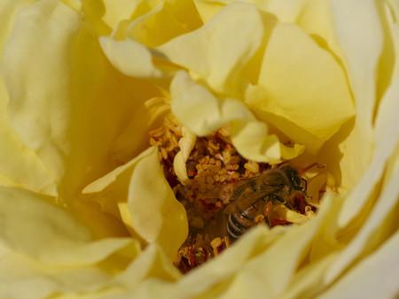 開きかけの花に潜る