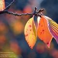 さくら木紅葉