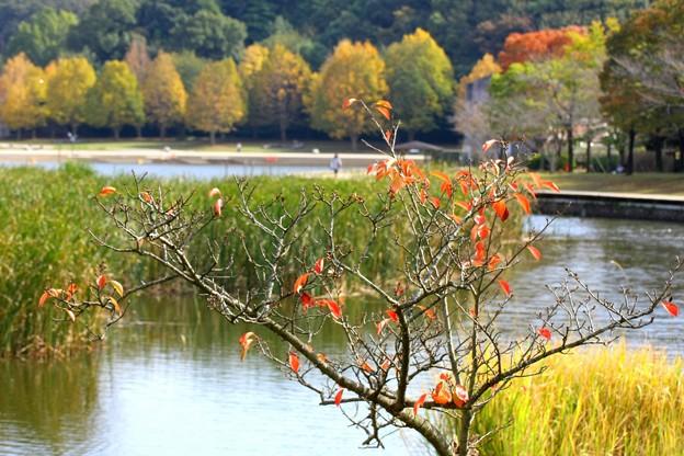 桂の木の紅葉
