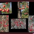 柿とサンシュユの果実のコラージュ