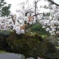 御苑の白系八重桜