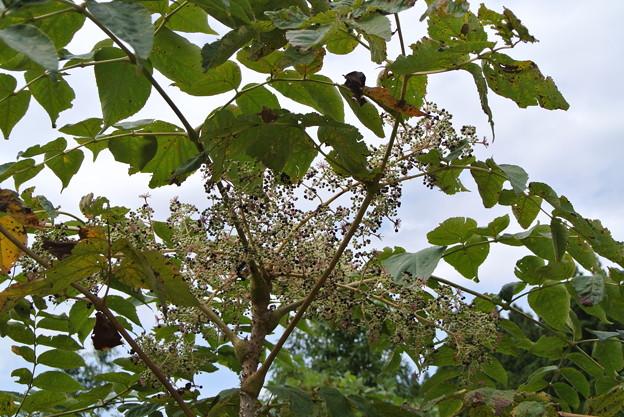 タラの木 (4)