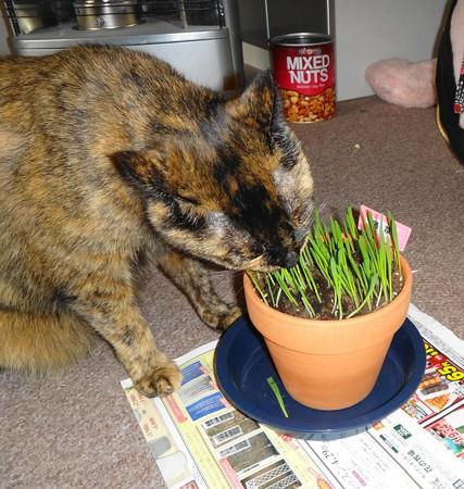草を食べるチビタン