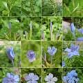 Photos: 初夏~秋に咲く涼しげな花が魅力:ルリマツリ