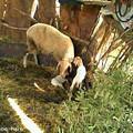 Photos: 子羊誕生