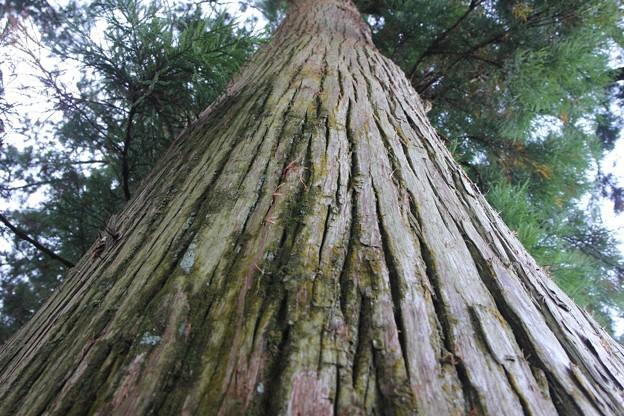 昼なお暗き杉並木2