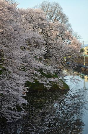 160416霞城公園の桜04