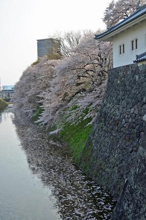 160416霞城公園の桜05